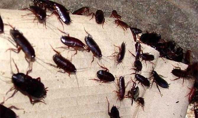 Предпосылки появления черных тараканов в городских квартирах