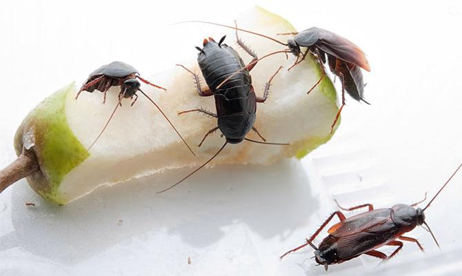 Краткая информация о черном таракане