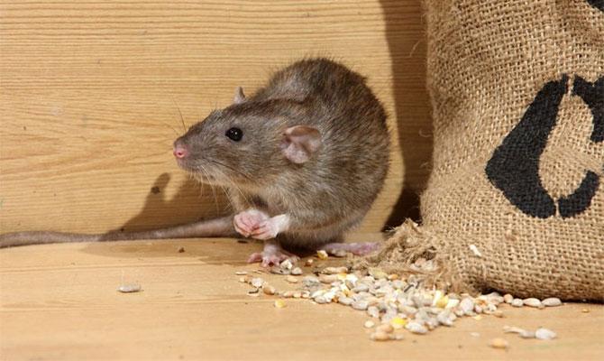 Основные причины появления мышей